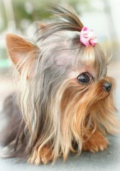 Adorable Yorkie ~ Debbie Orcutt ❤