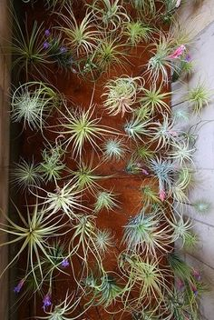 Beautiful air plants. Perfect for indoor gardening for those with little time or a black thumb
