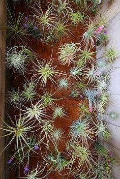 Tillandsias (air plants)