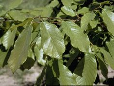 Zone 8 sycamore leaf snowbell styrax platanifolius native texas tonis oak tree monterrey oak nctr native to west texas is resistant to oak wilt and is a hardy evergreen oak tree spreading to feet wide as it matures sciox Choice Image