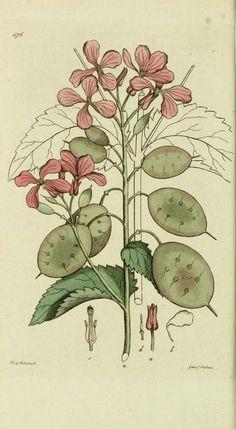 v.7 (1812) - Svensk botanik. - Biodiversity Heritage Library