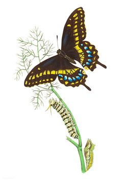 Troilus illustration from The Naturalist's Miscellany (1789-1813) by George Shaw (1751-1813) | free image by rawpixel.com Butterfly Illustration, Butterfly Painting, Vintage Butterfly, Free Illustrations, Pet Birds, Free Images, Watercolor Paintings, Insects, How To Draw Hands