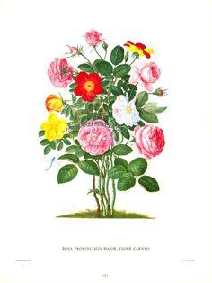 Antique print: picture of Rosa provincialis major, flore carneo - Johann Jacob Walther