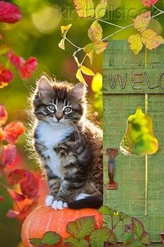 Share your cute animal pictures with us? Pretty Cats, Beautiful Cats, Animals Beautiful, Pretty Kitty, Beautiful Things, Kittens Cutest, Cats And Kittens, Cute Cats, Ragdoll Kittens