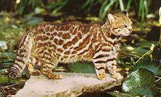 "The Colocolo (Leopardus colocolo) is a small(6lb. average) spotted and striped cat native to the west Andean slope in central and northern Chile.[2] Until recently it included the more widespread Pampas Cat (L. pajeros) and Pantanal Cat (L. braccatus),[1] and some maintain these as subspecies of the Colocolo.[3][4] Confusingly, when these are treated as subspecies of the Colocolo, the ""combined"" species is sometimes referred to as the Pampas Cat."