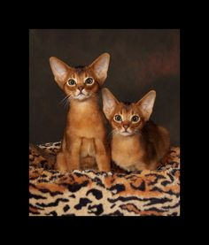 Abyssinian Cat Personality | ... Aby family or just ask questions about this remarkable breed of cat