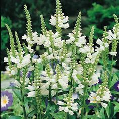 Crown of Snow obedience plant seeds – Garden Seeds – Perennial Seeds - All About Cottage Garden Plants, Garden Seeds, Planting Seeds, Planting Flowers, Deer Resistant Flowers, Deer Resistant Perennials, Flower Seeds, Flower Pots, Obedient Plant