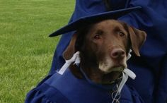This service dog, Hero, wore cap and gown along with Bridget, his companion. Hero pulled Bridget's wheelchair to all her classes. She wanted to credit him with the honor saying she wouldn't have graduated without him. :)