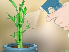 Lucky bamboo plant image titled care for an indoor bamboo plant step 6 lucky bamboo plant Bamboo House Plant, Indoor Bamboo Plant, Bamboo Plant Care, Lucky Bamboo Plants, Indoor Plants, House Plants, Caring For Bamboo Plant, Potted Bamboo, Lucky Bamboo Care