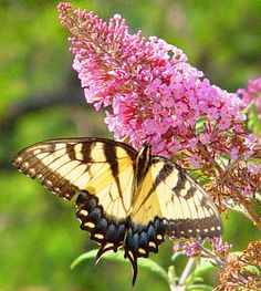 Home and Gardening: Butterfly Bush