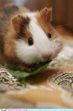 Cute Little Guinea Pig