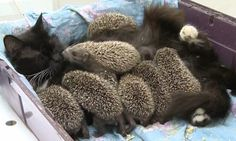 Hedgehog babies find bizarre foster mother in a zoo's CAT