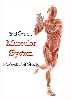 Muscular System Unit Study Learn the Muscular System {Third Grade Unit Study}
