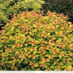 Double Play® Big Bang spirea Spiraea 'Tracy' zones 4 to 9 Blooms Large pink summer blooms, orange spring foliage turns deep yellow in summer and golden-orange in fall Light Full sun to part shade Size 2 to 3 ft. tall and wide Cold-hardy USDA Full Sun Shrubs, Bushes And Shrubs, Full Sun Perennials, Garden Shrubs, Flowering Shrubs, Landscaping Plants, Lawn And Garden, Garden Gate, Modern Landscaping
