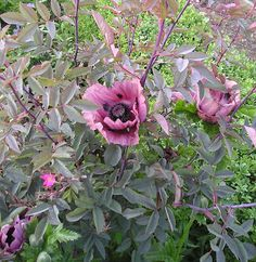 "Rosa glauca; P. orientale ""Patty's Plum"".  The poppy was planted inside a trio of the roses which hides the poppy's leaves as these tend to become rather shabby. The thorns of the rose also hook the floppy stems of the poppy flowers which means that there is no need for staking and tying in: why bother with a chore like that when nature can do it for you?"