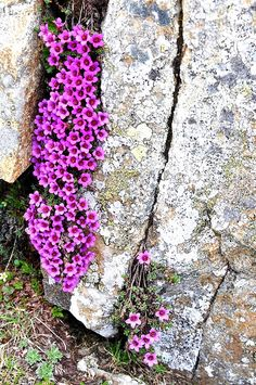 SAXIFRAGA OPPOSITIFOLIA (Sassifraga a foglie opposte. Gegemblättriger Steinbrech.Saxifrage à feuilles opposées. Nasprotnolistni kamnokreč. Purple Saxifrage). Saxifragaceae