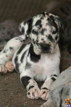 Catahoula Leopard Dog - this is Vincent's breed!  Though he is gray and black splotches!