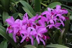 Cattleya lawrenceana
