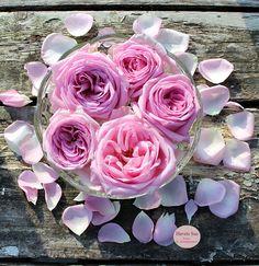 blomster - flowers - mygarden - spring - forår - haveglæde - Havets Sus - rose - roses