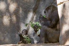 Imani and baby Joanne share some kale at the San Diego Zoo Safari Park. Twenty years ago, UCSD doctors helped save Imani's life when she was born prematurely. Last year, they helped save her baby.