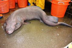 A false catshark found in Scottish waters off the coast of the remote island of St Kilda for the first time. Picture: HeMedia