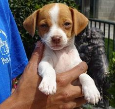 Lathrop, CA - Jack Russell Terrier/Chihuahua Mix. Meet Robyn, a puppy for adoption. http://www.adoptapet.com/pet/15457360-lathrop-california-jack-russell-terrier-mix