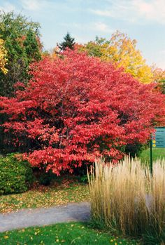 ornamental trees. Canadian Serviceberry; Amelanchier canadensis