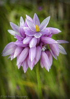 Vanilla Lily - Olgic