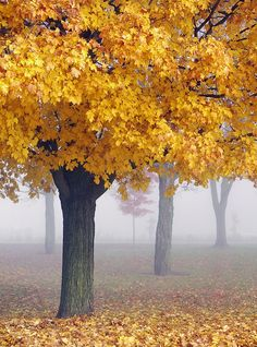 ✯ Misty Maples