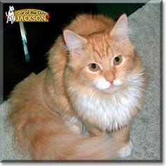 Persian cat in jeddah