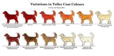 About Tollers,nova scotia duck tolling retrievers