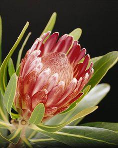 Proteaceae Protea Lancelot