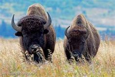 Two Huge Bison in Grand Teton National Park