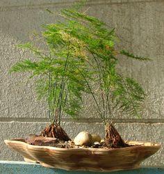 http://www.gurgaonmoms.com/store/images/Asparagus%20Fern%20Saikei%20Tray2.JPG