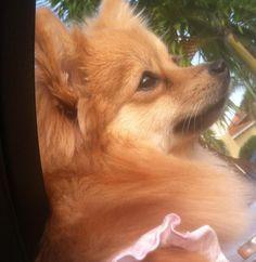 Gia: my little Pomeranian
