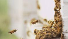 Le api sentinelle dell'aria che respiriamo: Api e Orti è un progetto di apicultura urbana, nato dalla collaborazione tra Legambiente e Conapi
