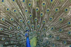 A peacock at the Los Angeles County Arboretum and Botanic Garden in Arcadia, California. (Reuters)