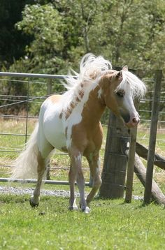 Glenrowen Heights Winning Streak-Streaker is a miniature horse stallion. Site leads to  pics other beautiful minis