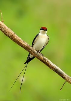 Wire-tailed Swallow - by Tejas Soni