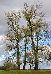 ~Populus spp. (Poplars)  ~Salicaceae  ~Traditional: Balm of Gilead  ~Phytochem: phenolic glycosides (salicin), flavonoids, volatile oil  ~Activity/MOA: expectorant, stimulant, antipyretic, analgesic, antiseptic