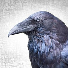 FEATHERED RAVEN  Every shade of blue and purple, from deep indigo to lightest lavender, shimmers in the ruff feathers of this sun dappled raven. How