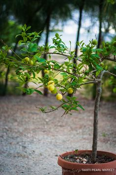 """Citronier (taporo en tahitien) en pot. Les citrons sont très prisés aux Tuamotu, indispensable à la préparation du fameux """"poisson cru"""" un des mets les plus célèbre de la gastronomique polynésienne."""
