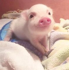Miniature Pet Pigs – Why Are They Such Popular Pets? – Pets and Animals Cute Baby Pigs, Cute Piglets, Cute Baby Animals, Animals And Pets, Cute Babies, Funny Animals, Baby Teacup Pigs, Baby Piglets, Funny Pets
