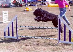 Bouvier des Flandres in Agility competition.