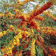 """Sanddorn """"Orange Energy®"""" weiblich,1 Pflanze"""