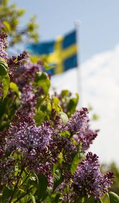 summer lilacs in Sweden. aka my favorite flower Swedish Style, Scandinavian Style, Swedish Flag, The Beautiful Country, Beautiful Places, Flowers Nature, Beautiful Flowers, Kingdom Of Sweden, About Sweden