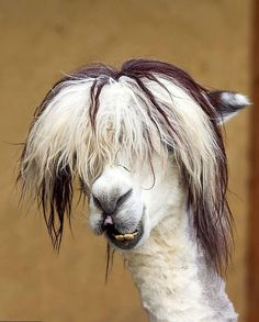 Llamas and Alpacas are famous for their hair. Start viewing haircut ideas for Llamas and Alpacas. Alpacas, Farm Animals, Animals And Pets, Funny Animals, Cute Animals, Smiling Animals, Crazy Animals, Nature Animals, Wild Animals