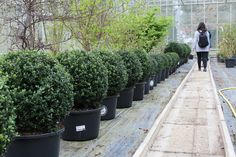 A row of topiary growing in perfect identical form