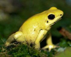 -Golden_Poison_dart_frog