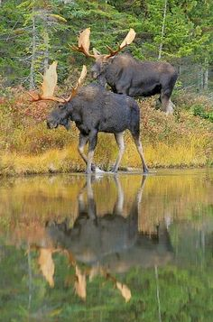 Two Bull Moose with their amazing reflections!
